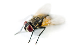 Ciérrese para arriba de una mosca Fotos de archivo libres de regalías