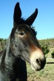 Ciérrese para arriba de una mula Imagen de archivo libre de regalías