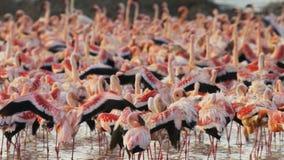 Ciérrese para arriba de una multitud del flamenco en el bogoria del lago en Kenia almacen de metraje de vídeo