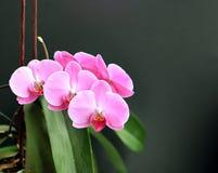Ciérrese para arriba de una orquídea rosada hermosa Imagen de archivo