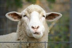 Ciérrese para arriba de una oveja Imágenes de archivo libres de regalías