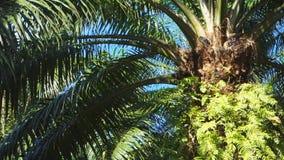 Ciérrese para arriba de una palma de aceite en Papúa Nueva Guinea metrajes