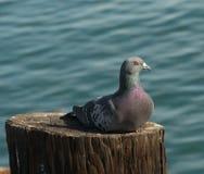 Ciérrese para arriba de una paloma que descansa sobre una viruta de madera Fotografía de archivo libre de regalías