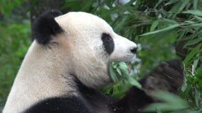 Ciérrese para arriba de una panda que come el bambú en Chengdu China almacen de metraje de vídeo