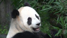 Ciérrese para arriba de una panda que come el bambú en Chengdu China metrajes
