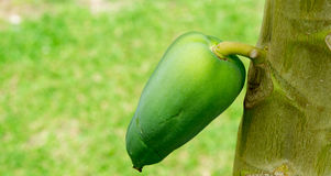 Ciérrese para arriba de una papaya en el árbol, foco selectivo Foto de archivo