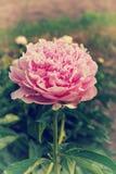 Ciérrese para arriba de una peonía floreciente rosada en el jardín Imagen de archivo libre de regalías
