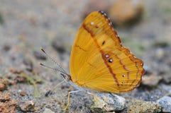 Ciérrese para arriba de una pequeña mariposa hermosa del flavilla de Nica de la bandera fotografía de archivo