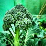 Ciérrese para arriba de una planta del brocolli Foto de archivo libre de regalías