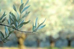 Ciérrese para arriba de una rama de olivo sombreada Imagen de archivo libre de regalías