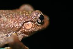 Ciérrese para arriba de una rana australiana   Fotografía de archivo libre de regalías