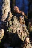 Ciérrese para arriba de una rodilla de Cypress imagenes de archivo