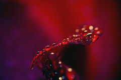 Ciérrese para arriba de una rosa roja, fondo negro Imagen de archivo libre de regalías