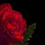 Ciérrese para arriba de una rosa roja, fondo negro Fotos de archivo