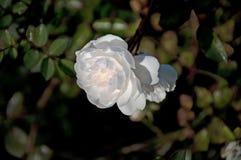 Ciérrese para arriba de una Rose blanca fotos de archivo