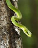 Ciérrese para arriba de una serpiente verde áspera imágenes de archivo libres de regalías
