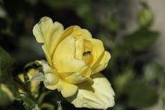 Ciérrese para arriba de una sola rosa mojada del amarillo Fotografía de archivo libre de regalías