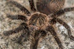 Ciérrese para arriba de una tarántula del pelo rizado Fotografía de archivo