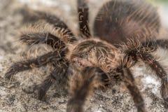 Ciérrese para arriba de una tarántula del pelo rizado Imagen de archivo