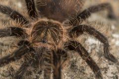 Ciérrese para arriba de una tarántula del pelo rizado Foto de archivo