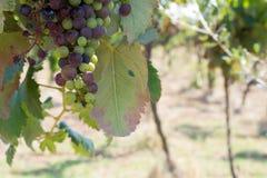 Ciérrese para arriba de uvas en campo en Italia en verano tardío fotos de archivo libres de regalías