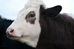 Ciérrese para arriba de vaca Imágenes de archivo libres de regalías