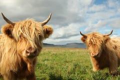 Ciérrese para arriba de vaca escocesa de la montaña en campo Fotografía de archivo libre de regalías