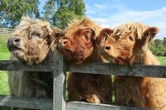 Ciérrese para arriba de vaca escocesa de la montaña en campo Imagenes de archivo