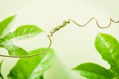 Ciérrese para arriba de vid conectada en fondo verde claro conectado Imagen de archivo libre de regalías