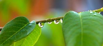 Ciérrese para arriba de waterdrops en una ramita de la nuez Imagen de archivo