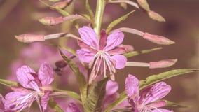Ciérrese para arriba de Willowherb de adelfa Foto de archivo libre de regalías