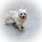 Ciérrese para arriba de Yorkshire Terrier Foto de archivo