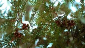 Ciérrese para arriba del árbol de abeto del verde de la rama cubierto en la nieve almacen de video