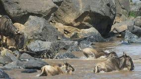Ciérrese para arriba del ñu que entra en el río de Mara en reserva del juego de Mara del masai metrajes
