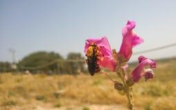 Ciérrese para arriba del abejorro que se sienta en la flor del antirrino Fotografía de archivo libre de regalías
