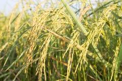 Ciérrese para arriba del arroz en campo Imagen de archivo libre de regalías