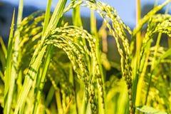Ciérrese para arriba del arroz en campo en luz de la mañana Foto de archivo libre de regalías