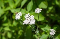 Ciérrese para arriba del aterrizaje de la abeja de la miel en la flor de la primavera Imagenes de archivo