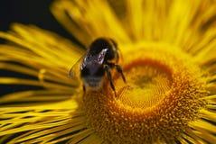 Ciérrese para arriba del aterrizaje del abejorro en una margarita amarilla Foto de archivo