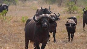 Ciérrese para arriba del búfalo masculino con su manada en Savannah Of Africa In The caliente salvaje metrajes