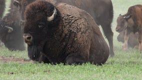 Ciérrese para arriba del bisonte que se sienta en remiendo de la suciedad en campo almacen de video