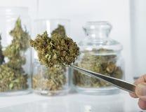 Ciérrese para arriba del brote de la marijuana Imagen de archivo libre de regalías