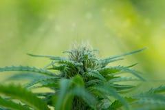 Ciérrese para arriba del brote de la marijuana Fotografía de archivo