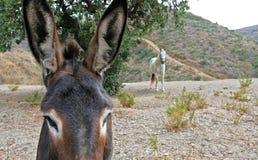 Ciérrese para arriba del burro español que mira el caballo blanco Fotos de archivo