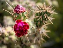 Ciérrese para arriba del cactus en la floración Foto de archivo libre de regalías