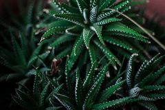 Ciérrese para arriba del cactus verde en mi hogar áloe fotografía de archivo