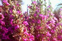 Ciérrese para arriba del campo rosado de flores, imagen es vintage filtrado imagenes de archivo