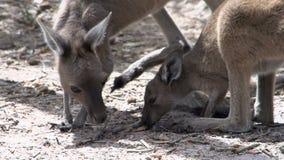 Ciérrese para arriba del canguro del bebé y de la madre que come en parque del Le Grand National del cabo metrajes