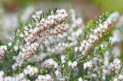 Ciérrese para arriba del carnea de Erica. Brezo blanco del invierno/de primavera Fotos de archivo libres de regalías