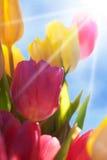 Ciérrese para arriba del cielo y de Sun de Tulip Flower Meadow With Blue Imagen de archivo